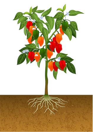 illustration of Habanero pepper plant Ilustração