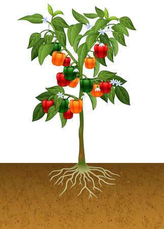 Cherry tomato plant with root under the ground Stockfoto - 101608240