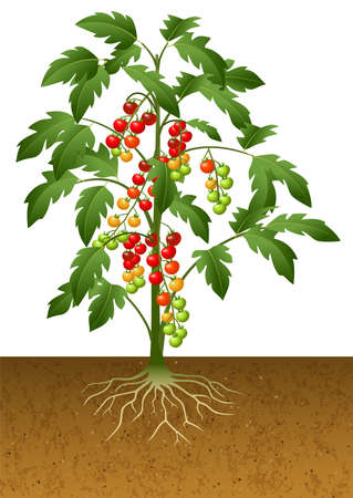 Cherry tomato plant with root under the ground