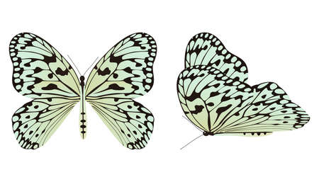 The rice paper butterfly or large tree nymph vector illustration Ilustracja