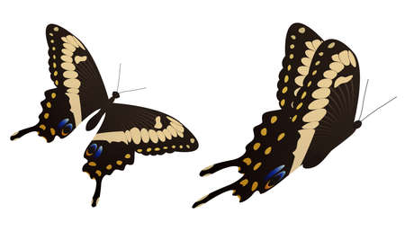The black swallowtail butterfly vector illustration