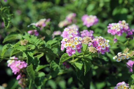 Colorful lantana camaras (common lantanas) in a closeup. Beautiful yet problematic flowers that tend to takeover other plants by creating toxic chemicals to the soil. Closeup photographed in Cyprus.