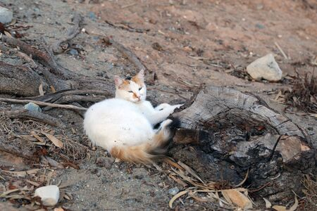 Homeless street cat photographed in the island of Cyprus. This cat is cute with its multicolored white, brown and black fur. The cat is relaxing on a stone fence during a warm afternoon. Color photo. Stock Photo