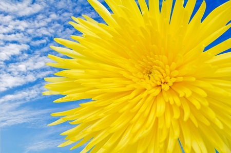 Flower chrysanthemum on a background of the sky. Stock Photo - 16485425