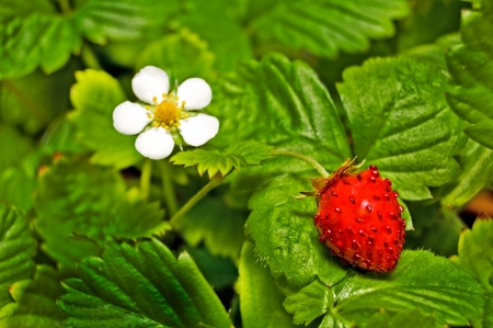floret: Strawberry with berries and floret.