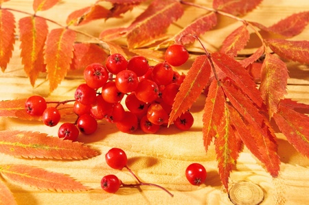 european rowan: Rowan leaves and berries on a wooden floor.