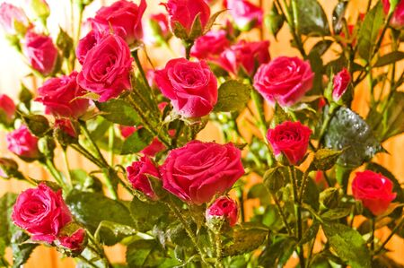 Beautiful pink roses with water drops. Stock Photo - 17945885