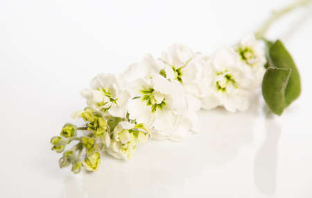 acacia flower on white background with shallow depht of field Stock Photo