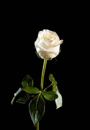 single white rose on a black backrground photo
