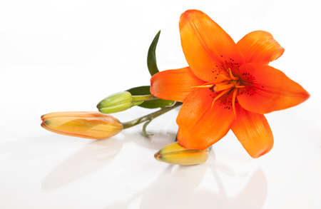 lilly: beautiful orange lilly isolated on white background