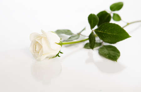 white rose with leaves on white background Stock Photo