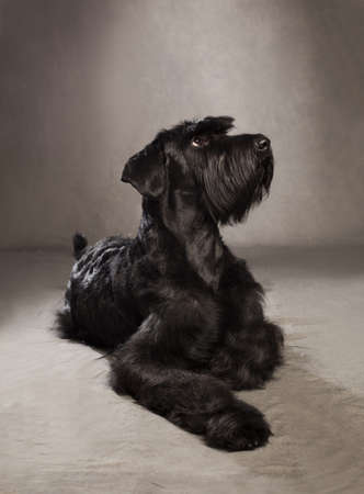 profile picture of a  black giant schnauzer on grunge background