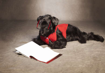 giant schnauzer with glasses reading a magazin on grunge background photo