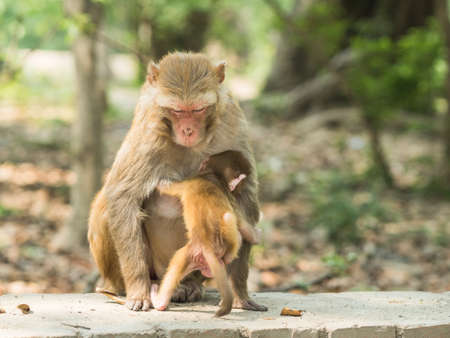 Macaque monkey mother holds her cute baby