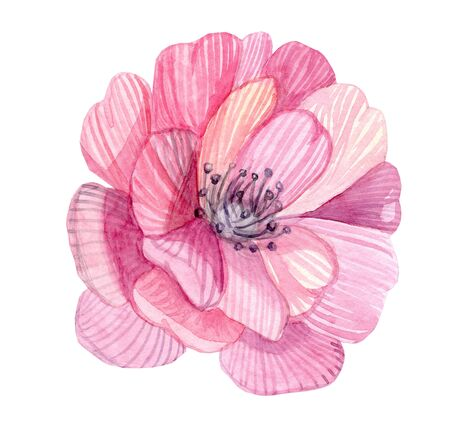 watercolor pink flower illustration isolated on white background
