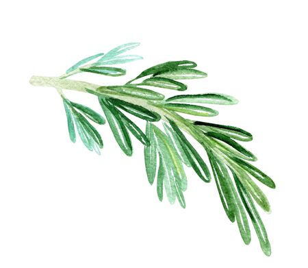 watercolor rosemary branch on white background. Green herbs spices