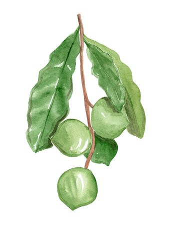 watercolor hand drawn macadamia branch with green leaves and nuts isolated on white background Banque d'images