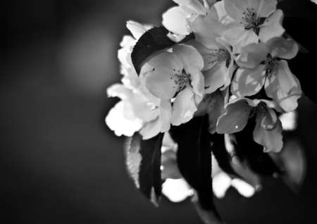 apple tree flowers and leaves in spring in black and white colors