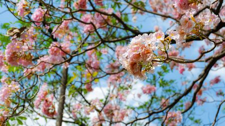 Pink flowers are blooming beautifully with blue sky background in spring