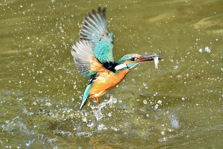 Predation of Kingfisher