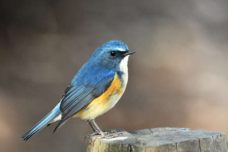 Male Red-flanked Bluetail Stock Photo