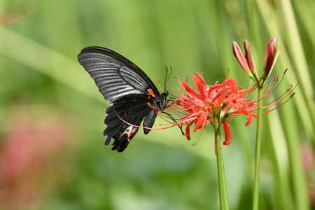 spider lily: Spider Lily and Butterfly