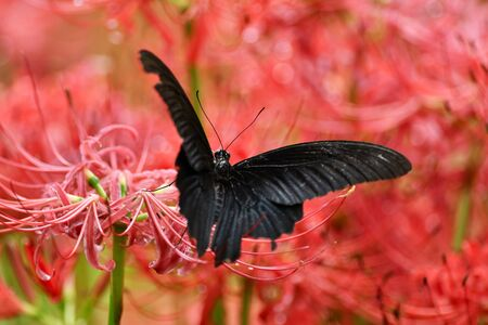 Spider Lily and Butterfly