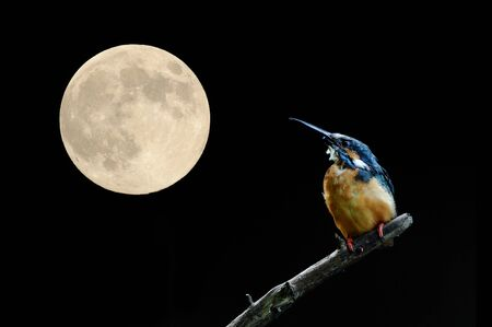 Full moon and Kingfisher