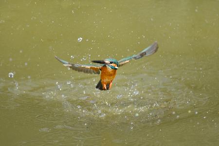 Water Kingfishers Stockfoto
