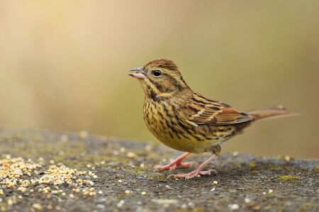 The diet of the black-faced Bunting