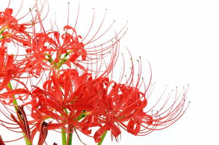 Spider lily white background