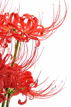 spider lily: Spider lily white background