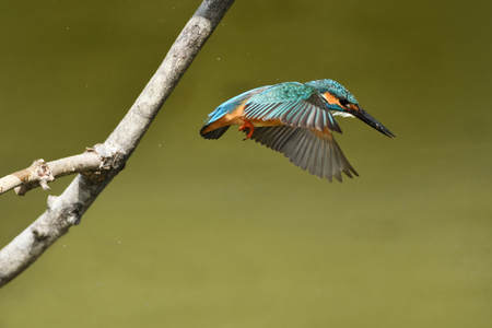 Jump out of the Kingfisher Banco de Imagens