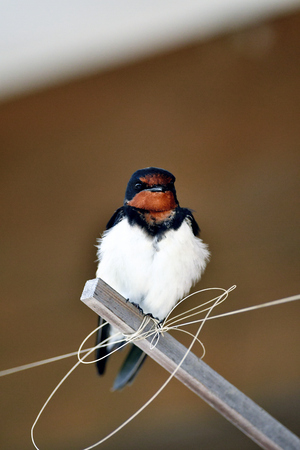 eaves: Swallow under the eaves. Stock Photo