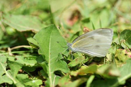 pieris: White Butterfly Stock Photo