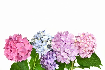 Hydrangea white background 스톡 콘텐츠