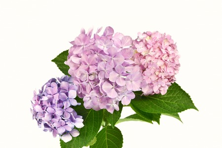 Hydrangea white background