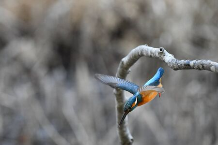 bough: Kingfishers perch Stock Photo