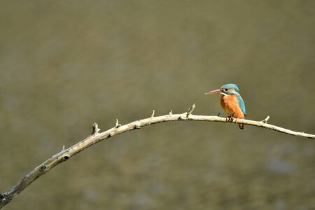 bough: Female Kingfisher
