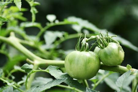 露地栽培のトマト。 写真素材