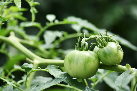 Tomatoes grown outdoors.