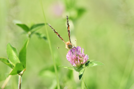 Motýl, červený jetel Reklamní fotografie