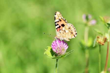 Nymphalidae butterfly Reklamní fotografie