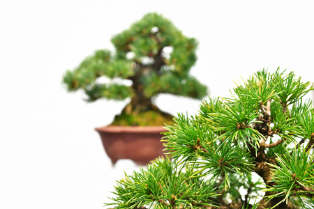 Background white pine bonsai