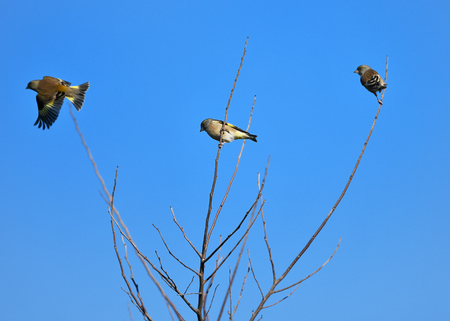 Oriental Greenfinch flocks