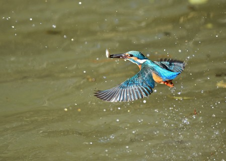 Predation of Kingfisher