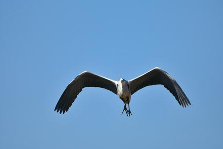 Heron flight Stock Photo
