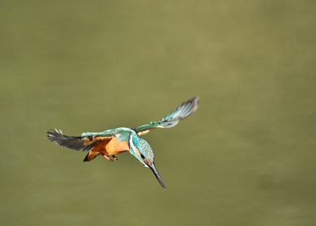 Kingfisher hovering