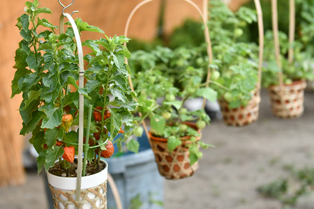 Physalis stalls Stock Photo