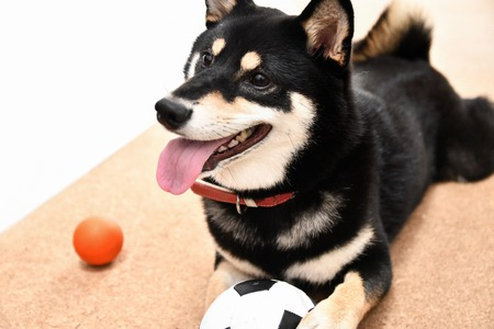 Naughty black Shiba Inu Stock Photo - 107334492
